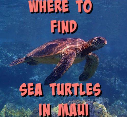 sea turtle swimming in maui