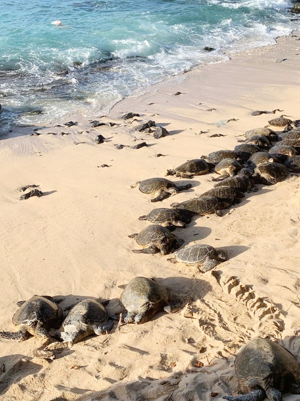sea turtles on the beach in Paia