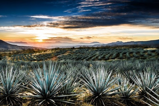 Agave plants in the mexican desert at sunset