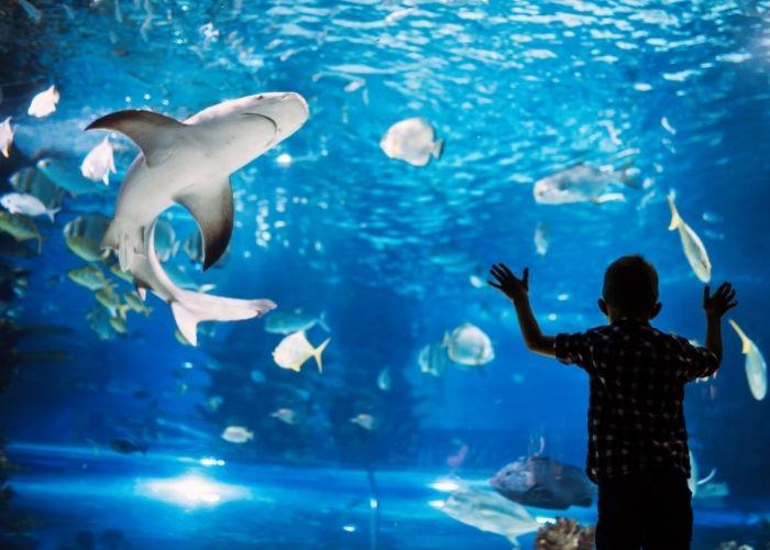 little boy looking at sharks at the aquarium.