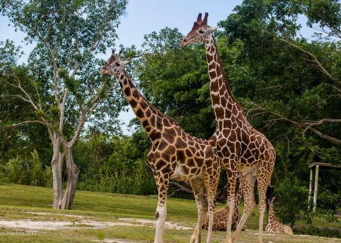 two giraffe at a zoo.